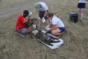 Hadley Couraud doing tests on a hyena in the African Mara with research co-workers (Photo: courtesy of Hadley Couraud)