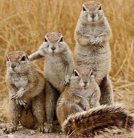 a-bunch-of-gophers-posing-210566.jpg